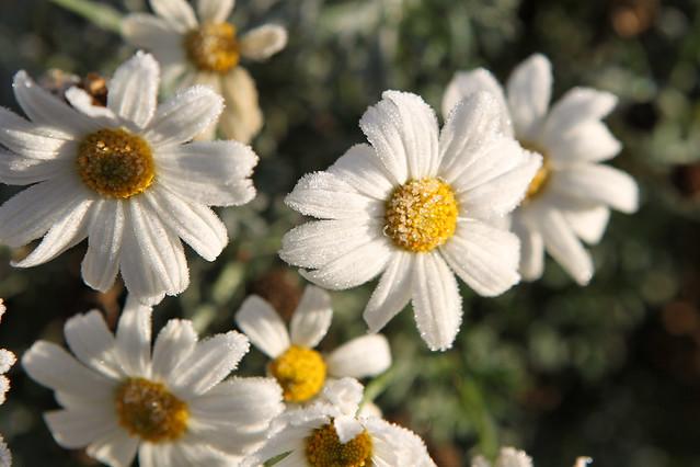 мои любимы цветы CD7I7965