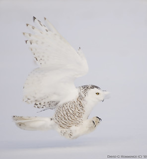 Snowy Owl  2010 NPA Workshop