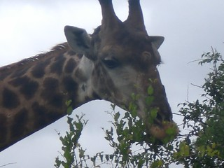 Giraffe, Sabi Sands Game Preserve, Limpopo, South Africa