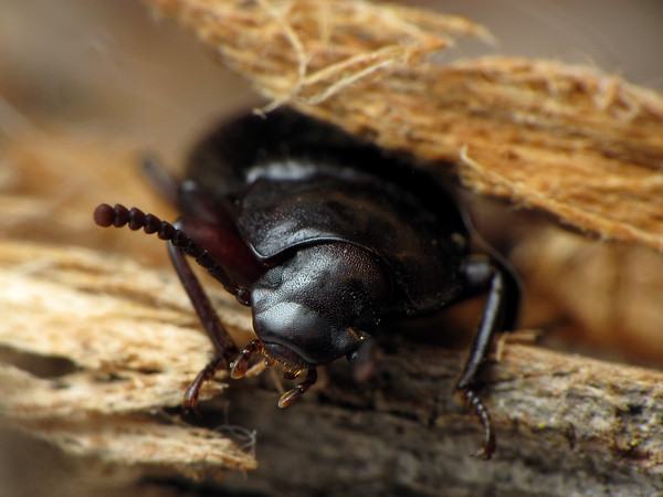 Tenebrionid (rather adorable)