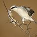 Great Grey Shrike (Lanius excubitor) by m. geven