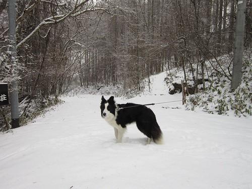 雪道を散歩するランディ 2011年12月9日9:45 by Poran111