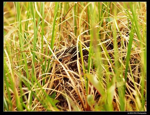 Wilson's Snipe (Gallinago delicata)