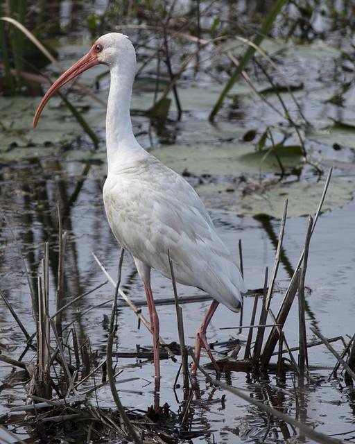 White Ibis - 2