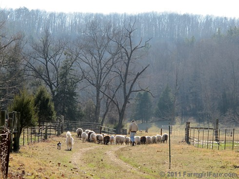 Joe, Daisy, and Bert herding the sheep into the front field - FarmgirlFare.com