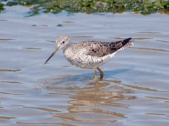animal, charadriiformes, fauna, red backed sandpiper, redshank, calidrid, sandpiper, snipe, beak, bird, wildlife,
