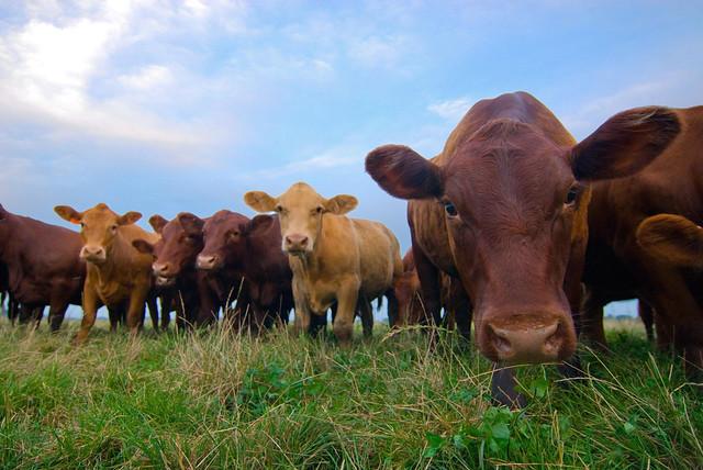 cows color assessment