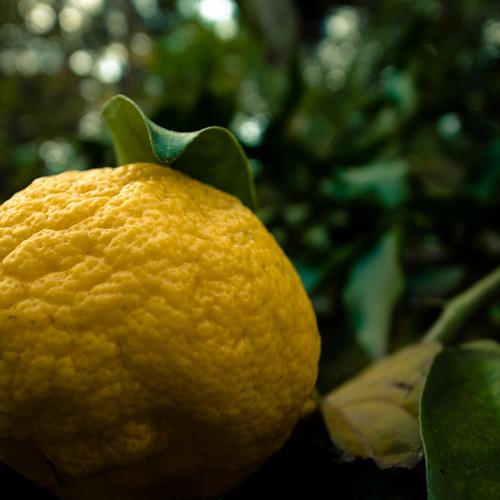 Yuzu (유자, ゆず,  柚子) Citrus Ripening on Tree, Chiba, Japan