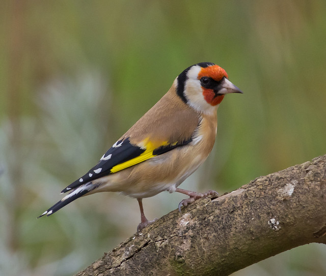 goldfinch cloudy day 6