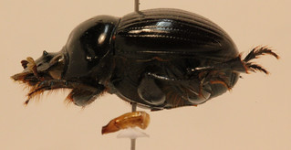 Dichotomius worontzowi (Pereira, 1942)