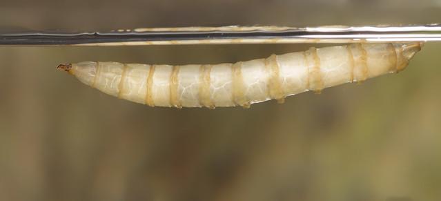 Tabanus giant horsefly larva 5 edited