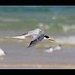 Crested Tern in flight
