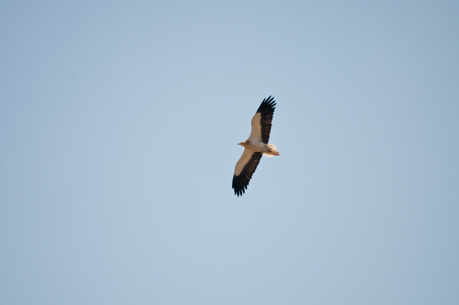 Egyptian-Vulture