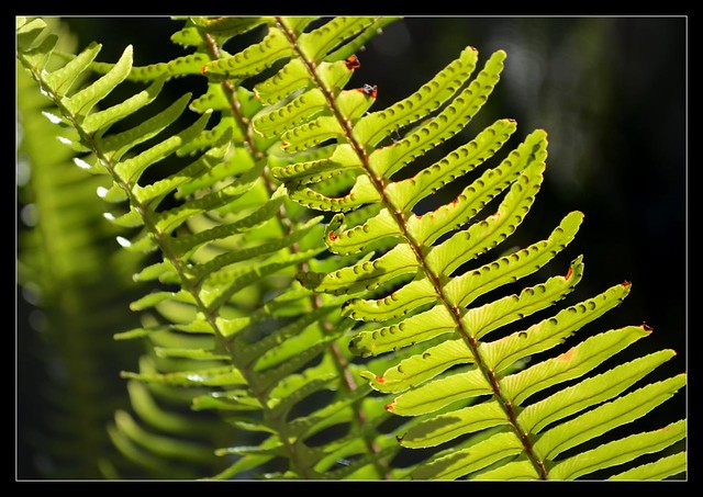 Ferns for Yak