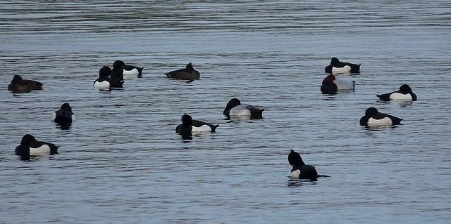 25449 - Scaup, Cosmeston