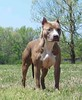 "UKC National Champion 2005 CH.PR' Buenos Aires Misty's Second Hand Kay ""Scarlet"""