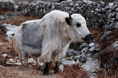 sheeps(0.0), sheep(0.0), argali(0.0), barbary sheep(0.0), goats(0.0), herd(0.0), mountain goat(0.0), muskox(0.0), cattle(0.0), cattle-like mammal(1.0), animal(1.0), mammal(1.0), horn(1.0), fauna(1.0), yak(1.0), wildlife(1.0),