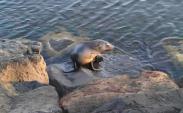 Seal at Brighton Beach