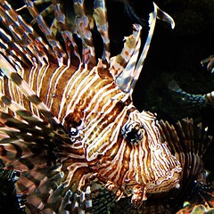 fish(1.0), lionfish(1.0), scorpionfish(1.0), wildlife(1.0),