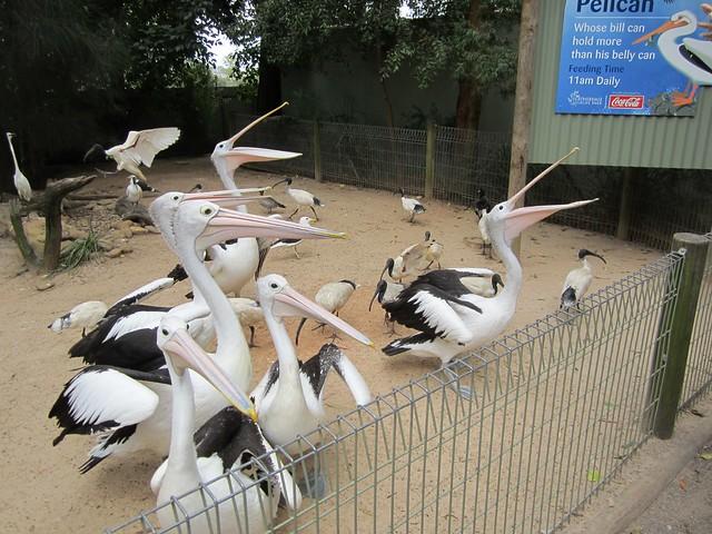 Featherdale - Pelicans