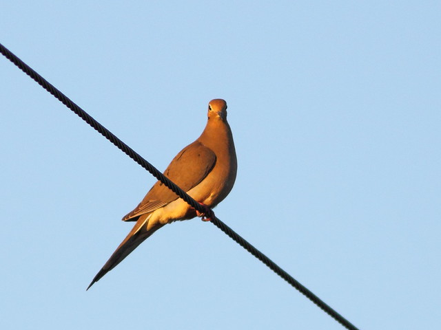 Dove on wire 20120107