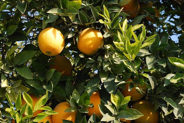 Citrus sinensis 0282