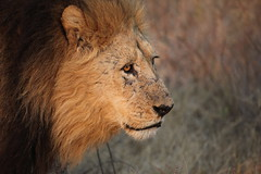 animal, mane, big cats, masai lion, lion, snout, mammal, fauna, close-up, whiskers, safari, wildlife,