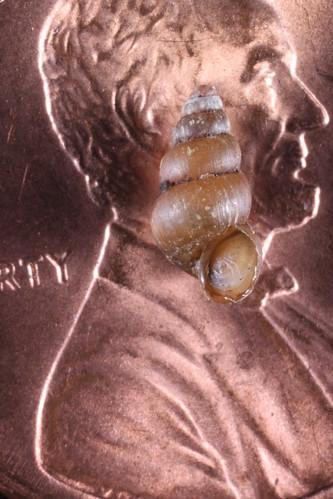 Pomatiopsis lapidaria