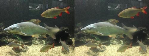 Einheimische Fische