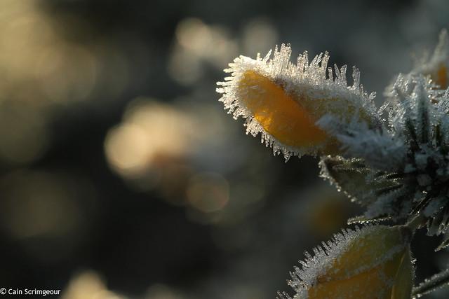 Frosty Gorse