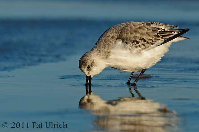 Sanderling at sunrise