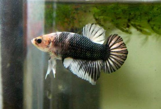Dragon king halfmoon betta fish 13 flickr photo sharing for Hawaiian moon fish
