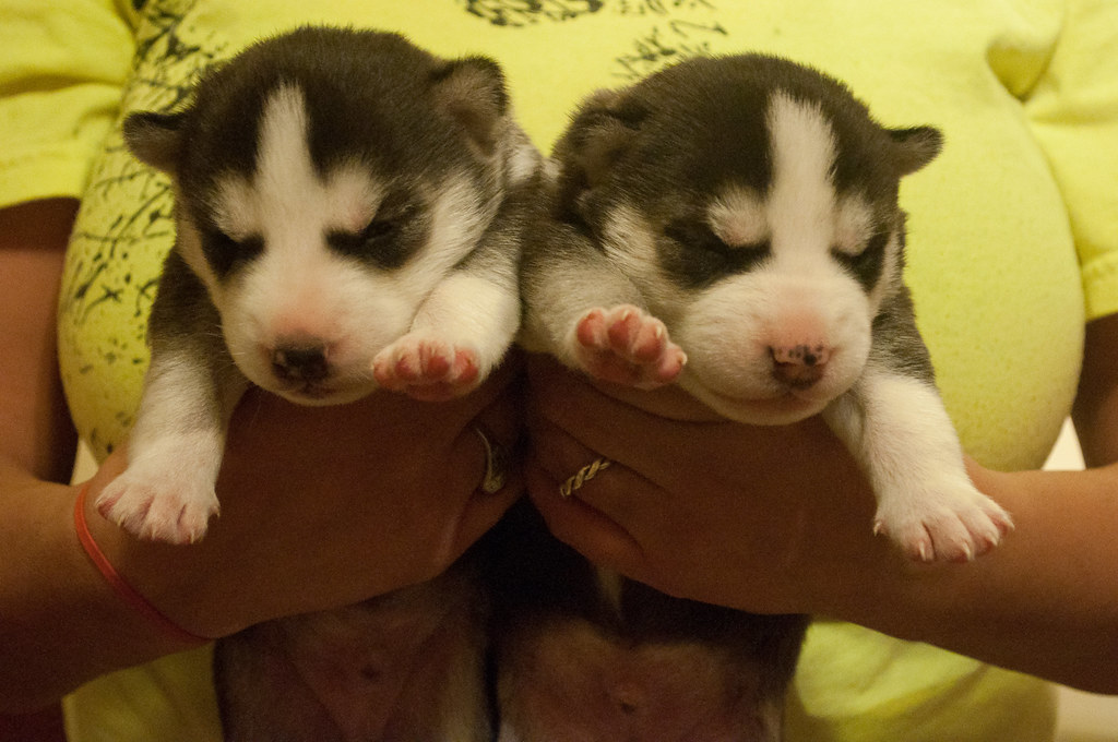 Siberian Husky Black Twins