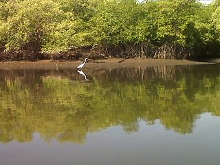 Fauna en los manglares - Álvaro Zúniga