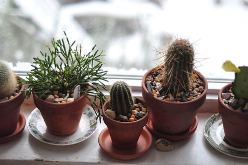 a gaggle of cacti