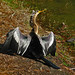 Anhinga drying its wings - Pinellas County Florida