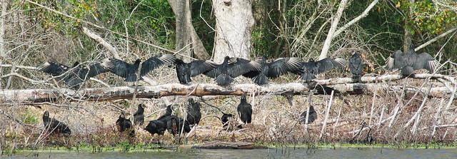 Black Vulture Chorus Line