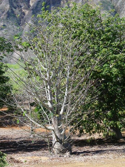Koko Head Botanical Garden Baobob Tree By Coconut