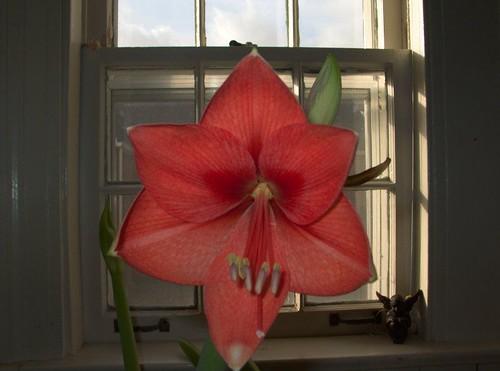 Amaryllis Heart 1-23-2012