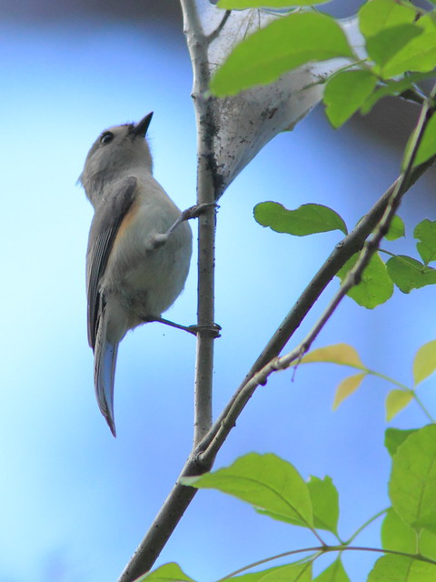 Tufted Titmouse 20120131