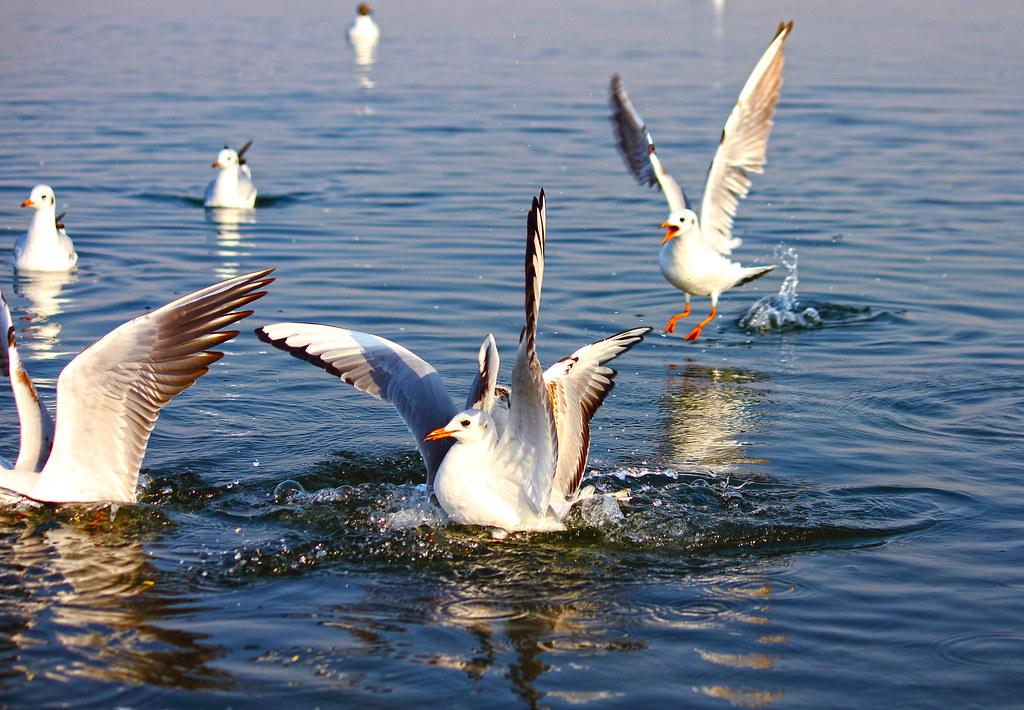 2011_02_12_015273_Gulls_Crop