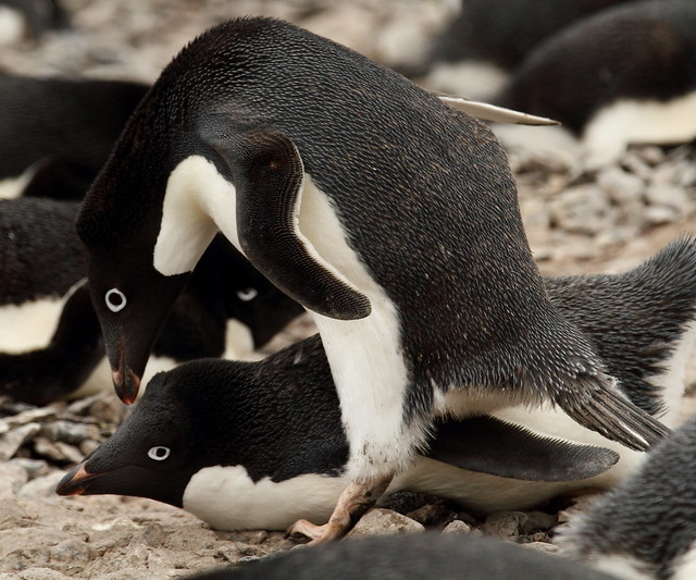 Adelie penguins getting ready to mate at Paulet Island. Antarctica nov 2011