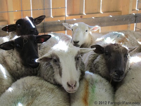 2012 Sheep shearing day 13 - FarmgirlFare.com