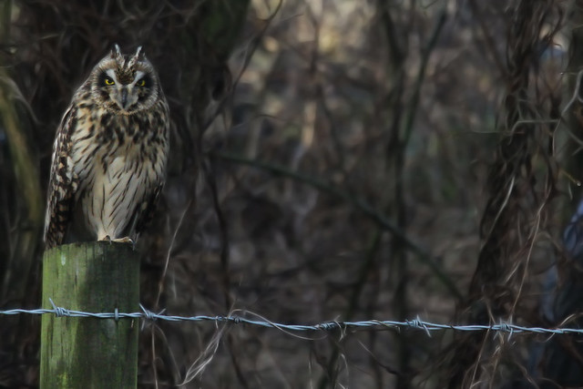 Short Eared Owl- Lookin' at me looking at you