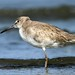 Willet by polarlow