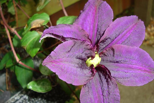 Week 6 - Purple clematis dark