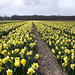 Yellow daffodils north of Keukenhof, Lisse, March 15, 2014 by cklx