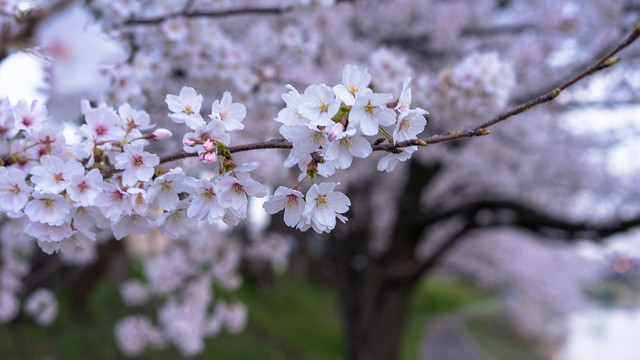 CherryBlossoms_09