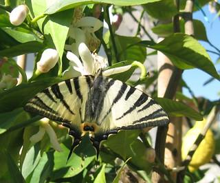 Podalirio on my lemon tree - Podalirio sui miei limoni