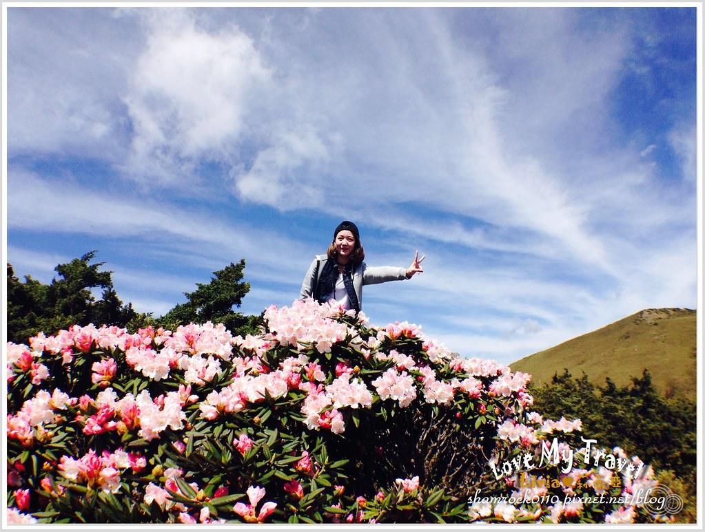 合歡山杜鵑花 -26